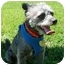 Photo 1 - Poodle (Toy or Tea Cup) Mix Dog for adoption in San Clemente, California - SAILOR