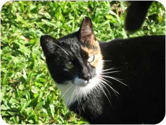 Domestic Shorthair Cat for adoption in Makawao, Hawaii - Delilah