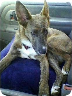 Shepherd (Unknown Type)/Dutch Shepherd Mix Puppy for adoption in Malibu, California - CHLOE