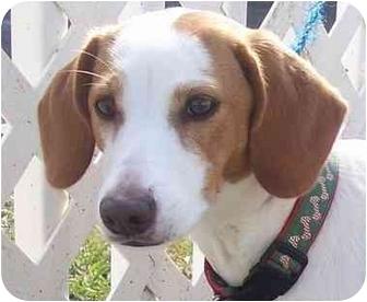 Beagle/Basset Hound Mix Puppy for adoption in Ft. Pierce, Florida - Honey 2