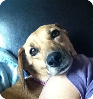 Dachshund Mix Dog for adoption in Vancouver, British Columbia - Cleo - Adoption Pending