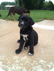 Labrador Retriever Mix Puppy for adoption in Russellville, Kentucky - Andy