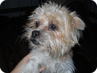 Shih Tzu Mix Dog for adoption in springtown, Texas - Rosco