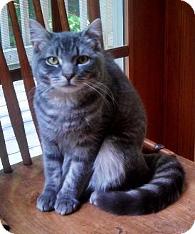 Domestic Shorthair Cat for adoption in Weare, New Hampshire - Stuart