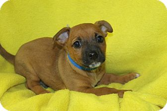 Terrier (Unknown Type, Small) Mix Puppy for adoption in Waldorf, Maryland - Koda