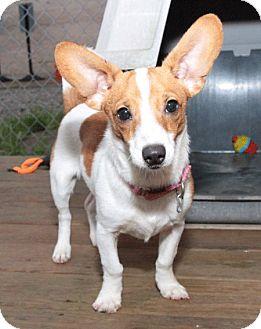 Corgi/Dachshund Mix Dog for adoption in Berea, Ohio - Tasha