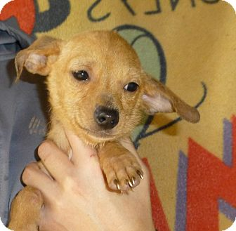 Dachshund/Chihuahua Mix Puppy for adoption in Oviedo, Florida - Tiny
