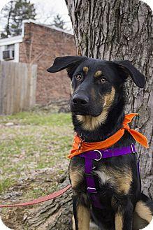 German Shepherd Dog/Hound (Unknown Type) Mix Dog for adoption in Baltimore, Maryland - Bo
