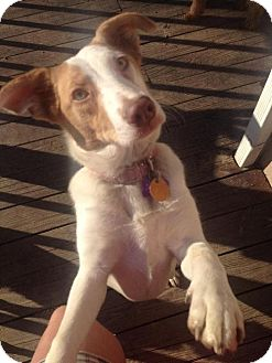 Collie/Jack Russell Terrier Mix Puppy for adoption in Beachwood, Ohio - Hayleigh