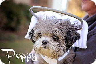 Lhasa Apso/Shih Tzu Mix Dog for adoption in Sheridan, Oregon - Poppy