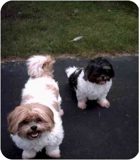 Shih Tzu Dog for adoption in Mays Landing, New Jersey - Emily and Max