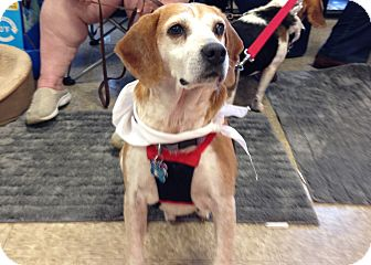 Beagle Mix Dog for adoption in Dumfries, Virginia - Solo