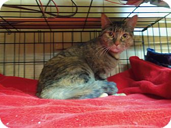 Domestic Shorthair Cat for adoption in Medford, Wisconsin - MEME