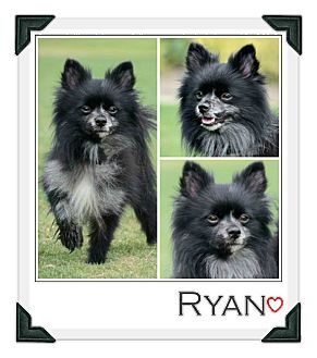 Pomeranian Mix Dog for adoption in Chester, Connecticut - Ryan