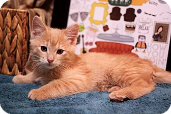 Domestic Shorthair Kitten for adoption in Plymouth, Minnesota - Gunther