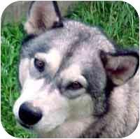Alaskan Malamute/Siberian Husky Mix Dog for adoption in Various Locations, Indiana - DEXTER