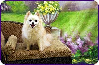Pomeranian Dog for adoption in Dallas, Texas - Alaska