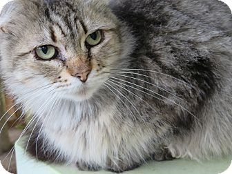 Maine Coon Cat for adoption in Coos Bay, Oregon - Mitsy