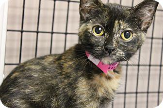 Domestic Shorthair Cat for adoption in Medina, Ohio - Diana