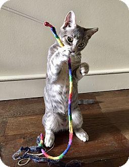 Domestic Shorthair Kitten for adoption in Philadelphia, Pennsylvania - Honeybunch