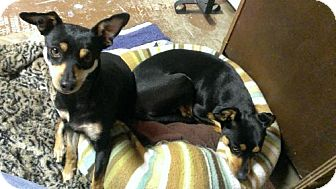 Miniature Pinscher Dog for adoption in Vacaville, California - Roxie and Jinger