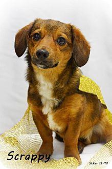 Dachshund Mix Dog for adoption in Rosalia, Kansas - Scrappy