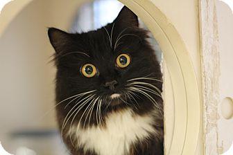 Domestic Longhair Kitten for adoption in Richmond, Virginia - Evelyn