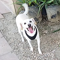 Adopt A Pet :: Annie - Palm Springs, CA