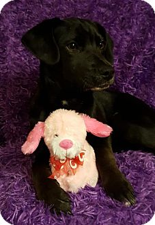 Labrador Retriever/Great Dane Mix Puppy for adoption in Elkton, Maryland - Dory
