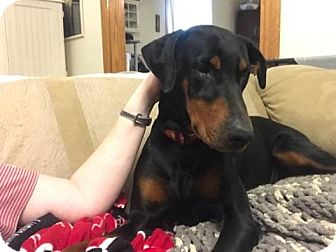 Doberman Pinscher Dog for adoption in Fort Wayne, Indiana - Phoebe