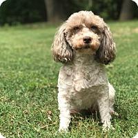 Adopt A Pet :: Dayzee - Little Rock, AR