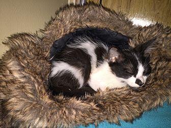 Domestic Mediumhair Kitten for adoption in College Station, Texas - Dr. Cattington