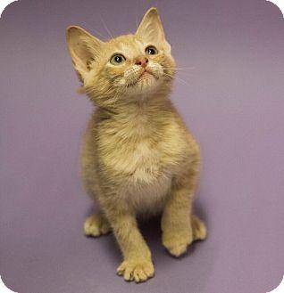 Domestic Mediumhair Kitten for adoption in Plano, Texas - EVERS-EVERLASTING LOVE