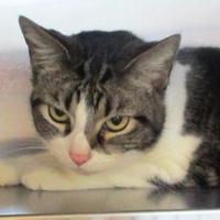 Adopt A Pet :: Meowkayla - Memphis, TN