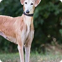 Adopt A Pet :: Cabella - Dallas, TX