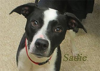 Border Collie Mix Puppy for adoption in Warren, Pennsylvania - Sadie