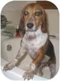 Beagle Mix Dog for adoption in Phoenix, Arizona - Joe