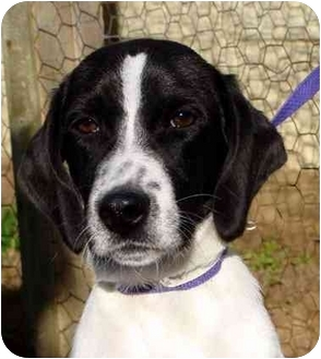 Hound (Unknown Type) Mix Puppy for adoption in Albany, Georgia - Oreo