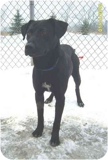 Labrador Retriever Mix Dog for adoption in Austin, Minnesota - Chastity