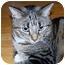 Photo 3 - Domestic Shorthair Cat for adoption in Avon, New York - Sheba