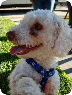 Poodle (Miniature) Mix Dog for adoption in San Dimas, California - Snow White