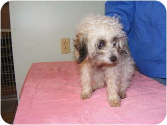 Poodle (Miniature) Puppy for adoption in Rochester, New Hampshire - Raggedy Ann and Andy