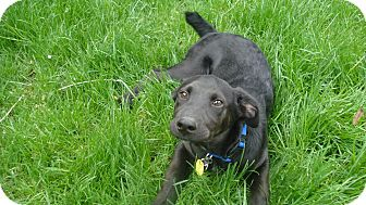 Labrador Retriever Mix Puppy for adoption in Evergreen, Colorado - Bimini