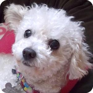 Bichon Frise Mix Dog for adoption in La Costa, California - Annie