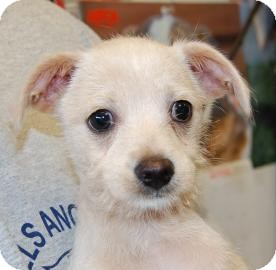 Chihuahua/Shih Tzu Mix Puppy for adoption in Brooklyn, New York - Bernard