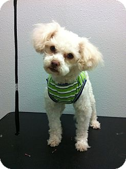 Poodle (Miniature) Dog for adoption in South Gate, California - Huey