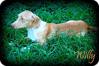 Dachshund/Beagle Mix Dog for adoption in Vancleave, Mississippi - Willy