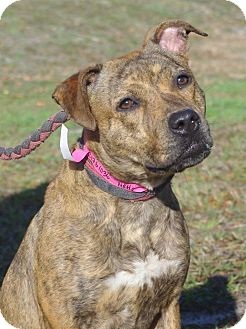 Black Mouth Cur Mix Dog for adoption in Daytona Beach, Florida - Nette