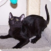 Adopt A Pet :: K-Amelia1-Wilbur - Colorado Springs, CO