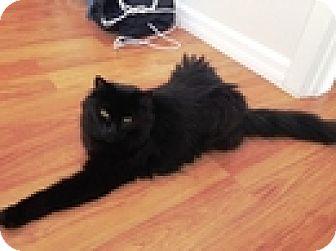 Domestic Longhair Cat for adoption in Vancouver, British Columbia - Murph